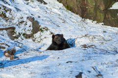 Brown bear (Ursus arctos). Inspecting the surroundings of his den Stock Image