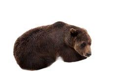 Brown bear, Ursus arctos Royalty Free Stock Photos
