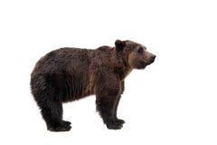 Brown bear, Ursus arctos Royalty Free Stock Images