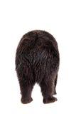 Brown bear, Ursus arctos Royalty Free Stock Photo