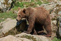 Brown Bear (Ursus arctos) Stock Photography