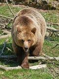 Brown Bear (Ursus arctos) Royalty Free Stock Images