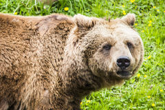Brown bear Ursus arctos. In its own envirnment Royalty Free Stock Photography