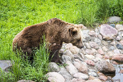 Brown bear Ursus arctos. In its own envirnment Stock Image