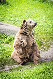 Brown bear Ursus arctos. In its own envirnment Stock Photo