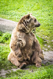 Brown bear Ursus arctos. In its own envirnment Royalty Free Stock Image