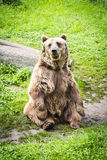 Brown bear Ursus arctos. In its own envirnment Stock Photography