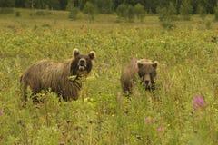 Brown bear (Ursus arctos jeniseensis) Royalty Free Stock Photos