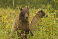 Brown bear (Ursus arctos jeniseensis) Royalty Free Stock Photos