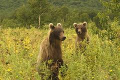 Brown bear (Ursus arctos jeniseensis) Royalty Free Stock Image