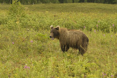 Brown bear (Ursus arctos jeniseensis) Stock Image