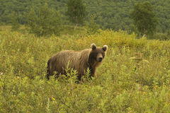 Brown bear (Ursus arctos jeniseensis) Royalty Free Stock Photography
