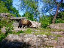 Brown bear. The brown bear (Ursus arctos) is a large bear distributed across much of northern Eurasia and North America and (with the polar bear) is the largest Royalty Free Stock Images