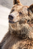 The brown bear (Ursus arctos) is among the largest and most powe Stock Image