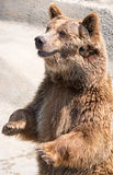 The brown bear (Ursus arctos) is among the largest and most powe Royalty Free Stock Photos