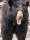 Angry brown bear (Ursus arctos) Royalty Free Stock Photography