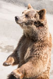 The brown bear (Ursus arctos) is among the largest and most powe Royalty Free Stock Image