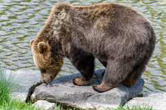 Brown Bear Ursus arctos licking feed.  Royalty Free Stock Images
