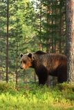 Brown bear ursus arctos. Male brown bear Royalty Free Stock Photography