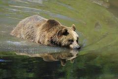 Brown bear Stock Image
