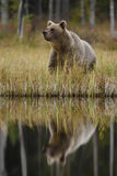 Brown Bear - Ursus arctos. Brown Bear mirroring in the lake in North Finland Royalty Free Stock Images