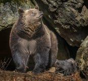 Brown bear - Ursus arctos Royalty Free Stock Photography