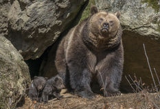Brown bear - Ursus arctos Royalty Free Stock Photo