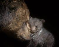 Brown bear - Ursus arctos Stock Photo