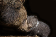 Brown bear - Ursus arctos Royalty Free Stock Image
