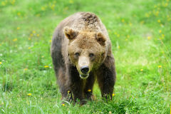 Brown bear (Ursus arctos) in nature Stock Photo
