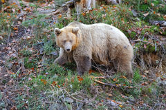 Brown bear (Ursus arctos) in nature. Big brown bear (Ursus arctos) in the environment Stock Photos