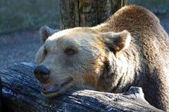 Brown bear, ursus arctos Royalty Free Stock Image