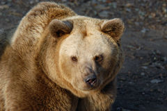 Brown bear Royalty Free Stock Image