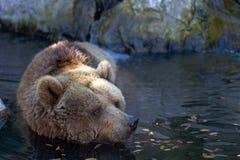 Brown bear Ursus arctos Royalty Free Stock Photo