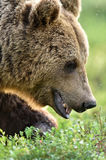 Brown bear (ursus arctos) Royalty Free Stock Photos