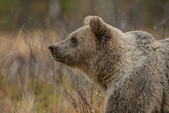 Brown Bear - Ursus arctos. Portrait of Brown Bear in Nordic forest Stock Image