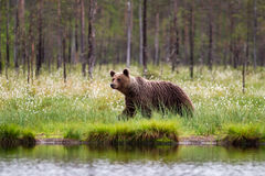 Brown bear. (Ursus arctos) on the shoreline of a small lake Royalty Free Stock Photography