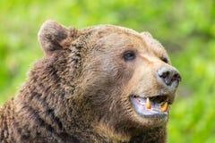 Brown bear Ursus arctos showing teeth. Natural brown bear Ursus arctos showing teeth royalty free stock photos