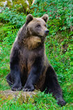 Brown Bear (Ursus Arctos). A brown bear (Ursus Arctos) sitting in the forest Stock Images