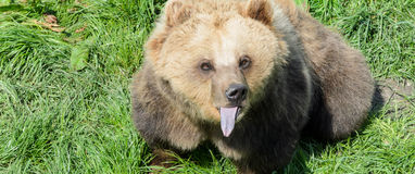 Brown Bear (Ursus arctos) sitting in the grass and showing its tongue Royalty Free Stock Photo