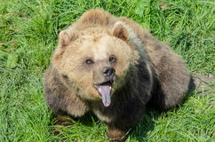 Brown Bear (Ursus arctos) sitting in the grass and showing its tongue Stock Photos