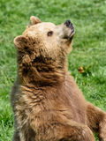 Brown Bear (Ursus arctos) sitting in the grass and sniffing in the air Royalty Free Stock Image