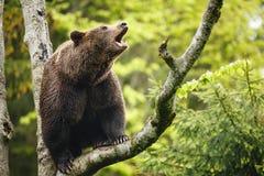 Brown bear (Ursus arctos), sitting on a tree Stock Photo
