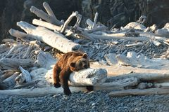 Brown bear Ursus arctos is sleeping on a log after fishing. stock images