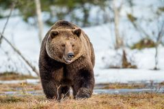 Brown Bear Ursus arctos on a snow. Close up portrait of adult male Brown Bear on a snow-covered swamp in the spring forest. Eurasian brown bear  (Ursus arctos Stock Photo