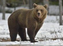 Brown Bear (Ursus arctos) on a snow Stock Photo