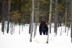The brown bear Ursus arctos on the snow. In the forest stock photography