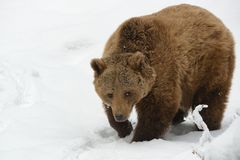 Brown Bear - Ursus arctos. On the snow in winter Royalty Free Stock Photo