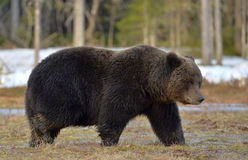 Brown Bear (Ursus arctos) in spring forest. Royalty Free Stock Photography