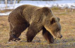 Brown Bear (Ursus arctos) in spring forest. Stock Images